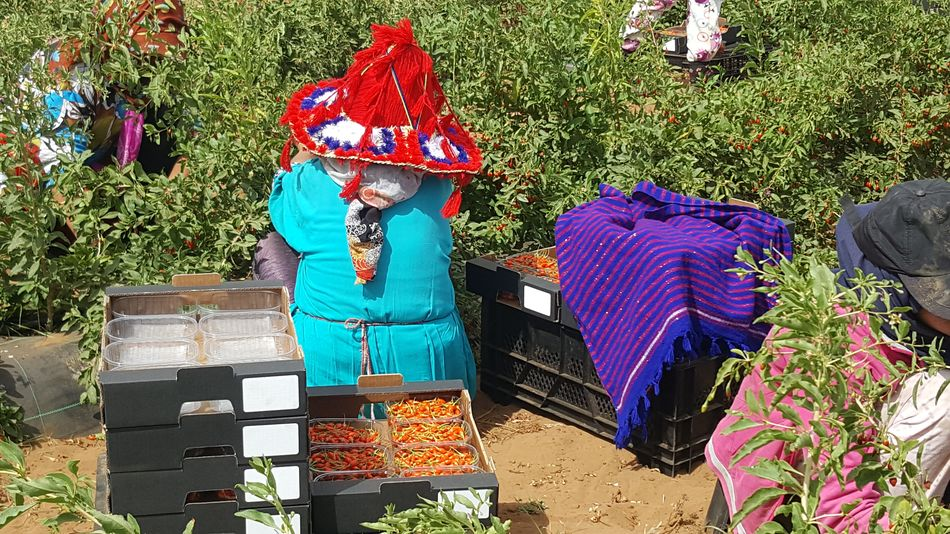 Goji Plantage Marokko